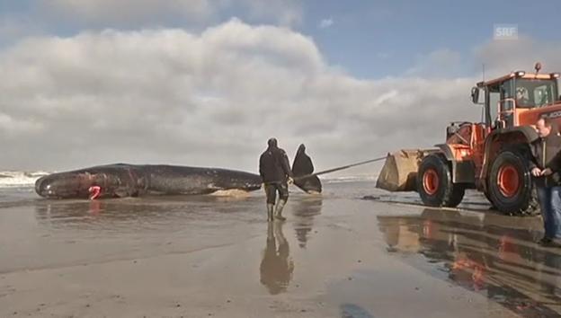 Video «Toter Pottwal an dänischem Strand» abspielen
