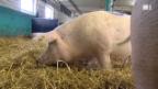 Video «Schweine mit Manieren» abspielen