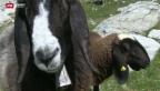 Video «Gestohlene Schafe gefunden» abspielen