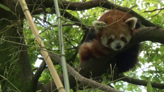 Video «Der kleine Panda (3)» abspielen
