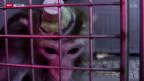 Video «Schockierende Bilder aus der Tierforschung» abspielen