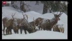 Video «Sonderjagd im Graubünden» abspielen