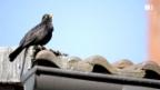 Video «Vogelgesang: Lärm macht erfinderisch» abspielen