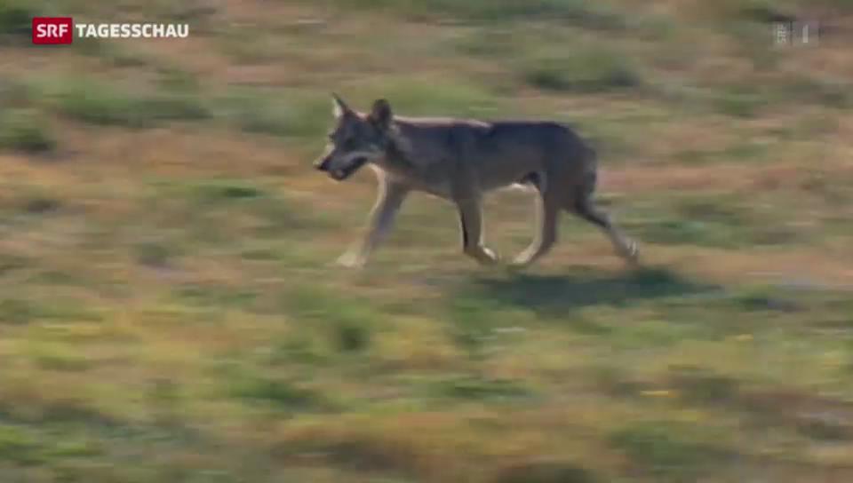 Tiefere Hürden für Wolfsabschuss