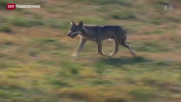 Video «Tiefere Hürden für Wolfsabschuss» abspielen