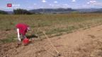 Video «FOKUS: Die Fair-Food-Initiative spaltet die Bauern» abspielen