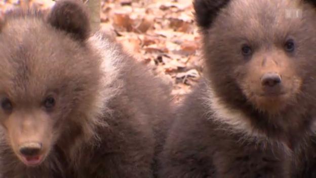 Video «Der Braunbär: Ein gutmütiger, drolliger Geselle?» abspielen