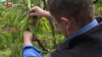 Video «Obstbauern fordern Frostversicherung» abspielen