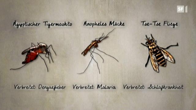 Mit Gentech-Mücken gegen Tropenkrankheiten