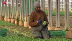 Video «Flüchtlinge als Arbeitskräfte» abspielen