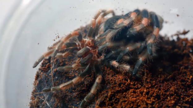Video «Wie wachsen Spinnen?» abspielen