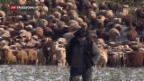 Video «Wander-Schafherden bei Minus-Temperaturen» abspielen