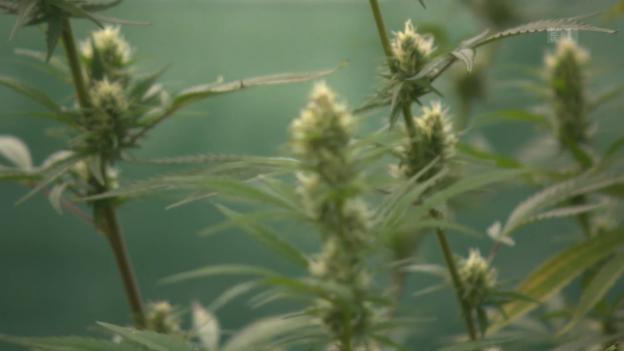 Video «Teures Gras: Legale Hanfprodukte versprechen viel zu viel» abspielen