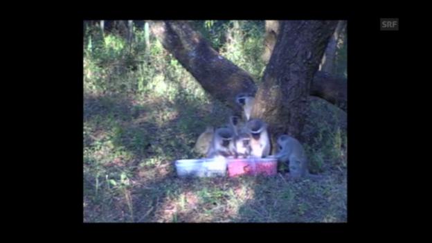 Video «Nur noch pink: Meerkatzen im Experiment» abspielen