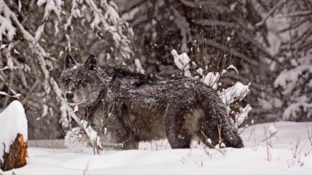 Video «Auge in Auge mit dem Wolf» abspielen