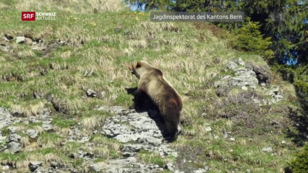 Video «Bär im Kanton Bern entdeckt» abspielen