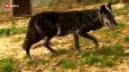 Video «Von Wölfen und Menschen» abspielen