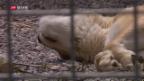 Video «Wieder mehr Raubkatzen in Schweizer Zirkussen» abspielen