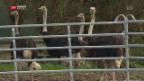 Video «Neue Massnahmen gegen Vogelgrippe» abspielen
