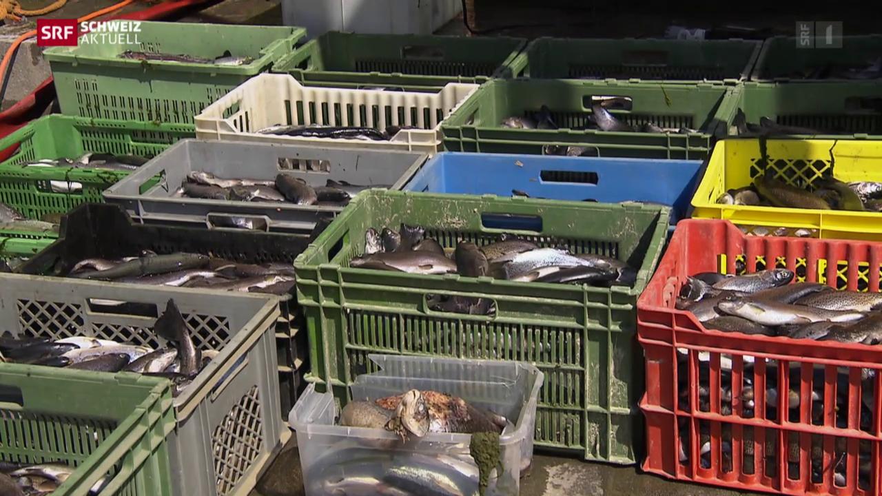 Fische in Birmensdorf unabsichtlich vergiftet