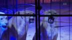 Video «Löwen zurück in der Manege - Tierschützer empört» abspielen