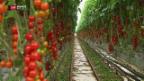 Video «Geothermie für Tomaten» abspielen