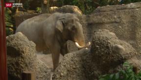 Video «Elefanten im Zoo Zürich beziehen neue Halle» abspielen