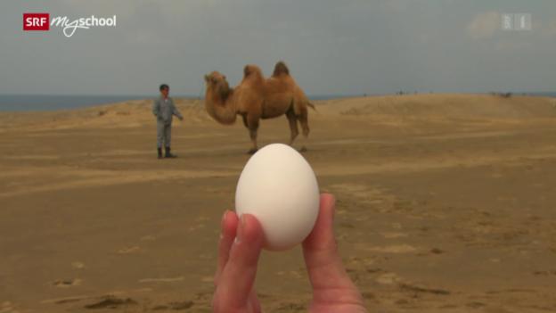 Video «Achtung! Experiment: Ein Kamel auf Eiern (1/52)» abspielen