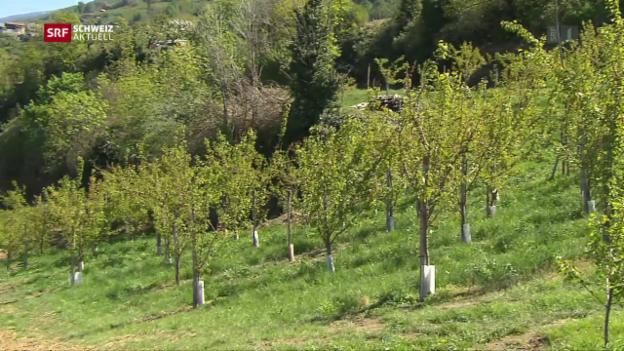 Video «Aprikosen verfaulen wegen Frost» abspielen