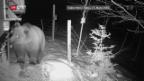 Video «Bär beim Essen gefilmt» abspielen