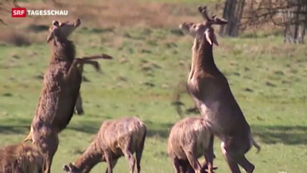 Video «Hirsch- und Reh-Plage in London» abspielen