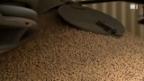Video «Dioxin im Tierfutter» abspielen