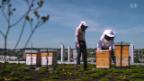 Video «Stadtbienen: Wie der Honig auf den Balkon kommt» abspielen
