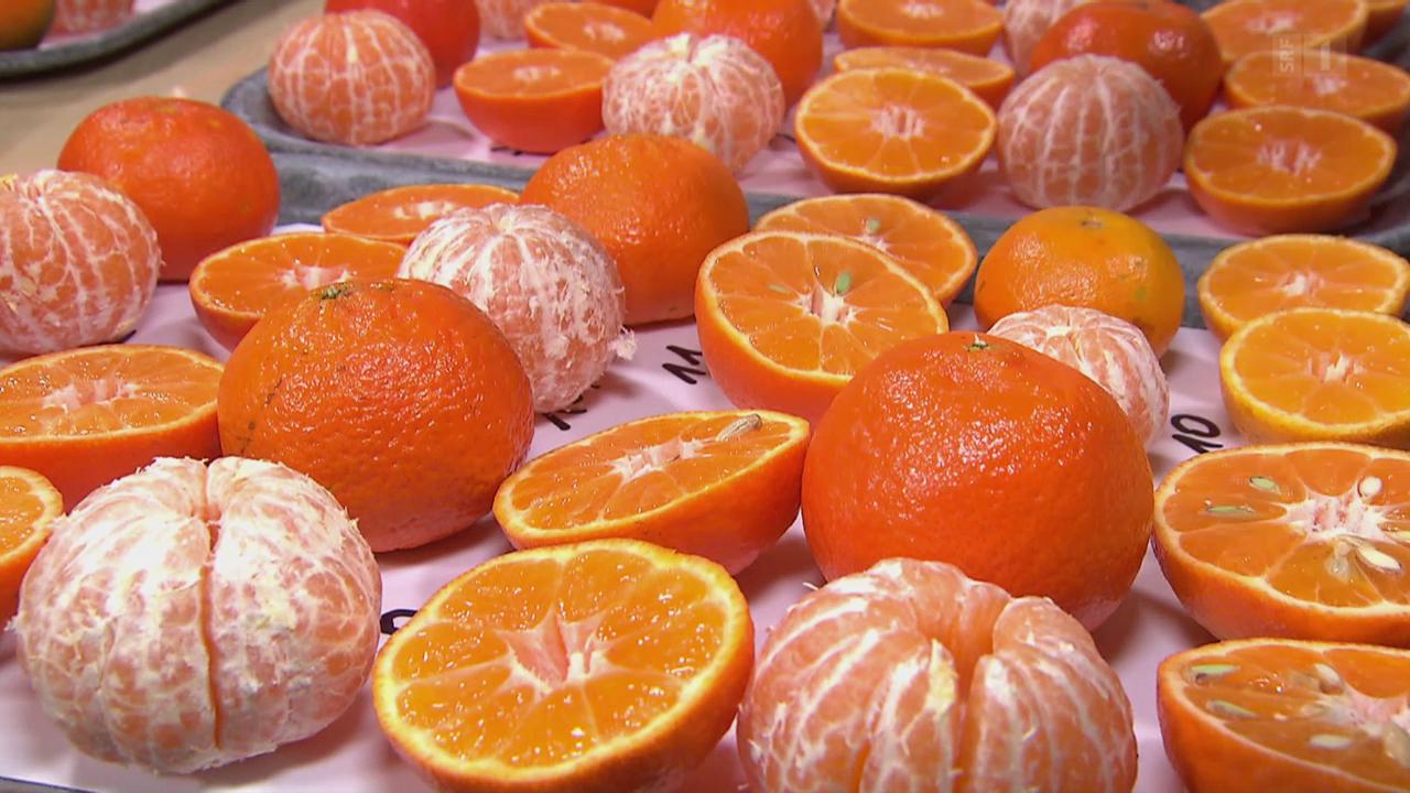 Clementinen in der Degustation: Vielen fehlt die Süsse