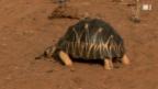 Video «Schildkröten-Drama in Madagaskar» abspielen