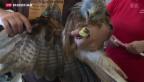 Video «Wachsende Population der Rotmilane in der Schweiz» abspielen