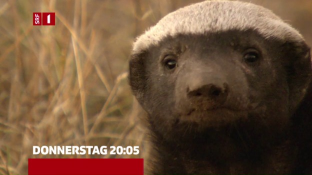 Video «Trailer «Honigdachs - frecher geht's nicht!»» abspielen