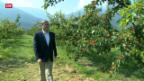 Video «Ein Viertel weniger Walliser Aprikosen» abspielen