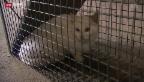 Video «Katzenjagd für Massenkastration» abspielen