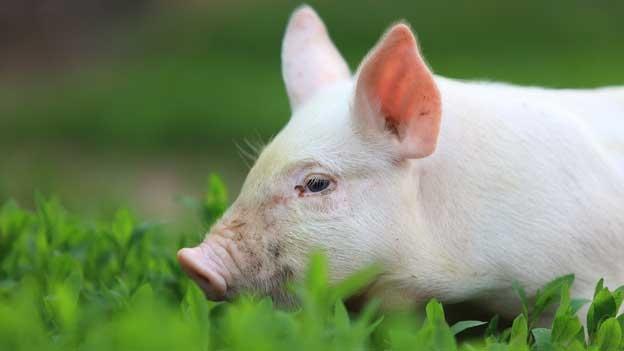 Der Schweinekanton