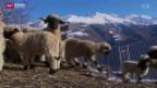 Video «Flüchtlinge als Schafhirten» abspielen