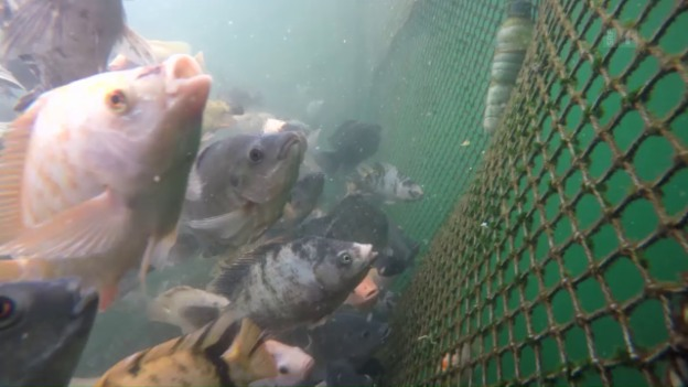Video «Massenzucht statt Fischparadies: Das ASC-Label in der Kritik» abspielen