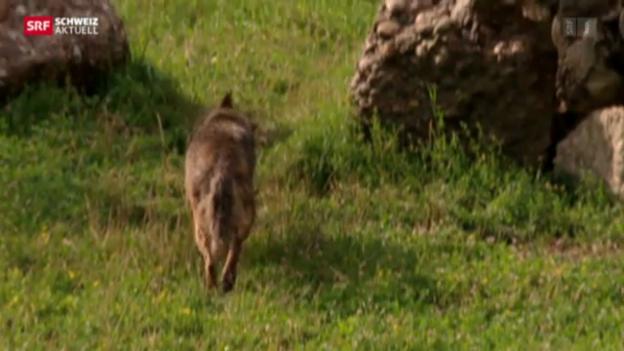 Video «Walliser Wolf tot» abspielen
