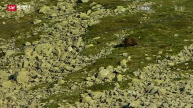 Video «Schützenhilfe gegen den Bär» abspielen