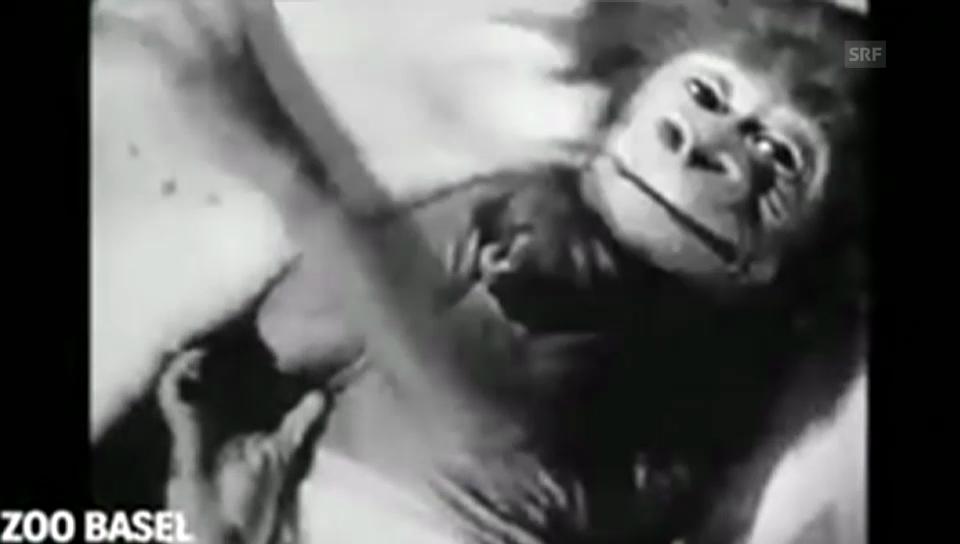 Zoodirektor Lang über Gorilla-Aufzucht