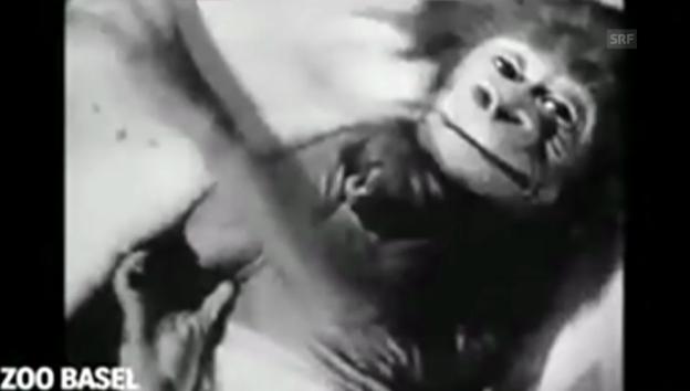 Video «Zoodirektor Lang über Gorilla-Aufzucht» abspielen