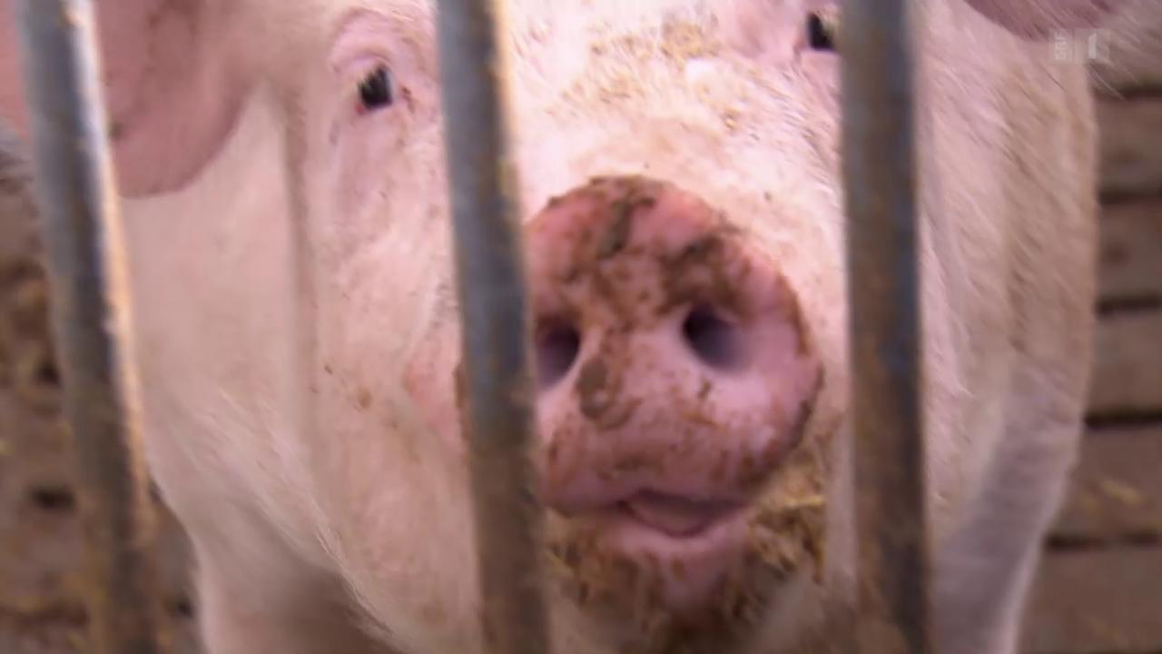 Nur Bio-Schweinefleisch ist garantiert ohne Hormonbehandlung