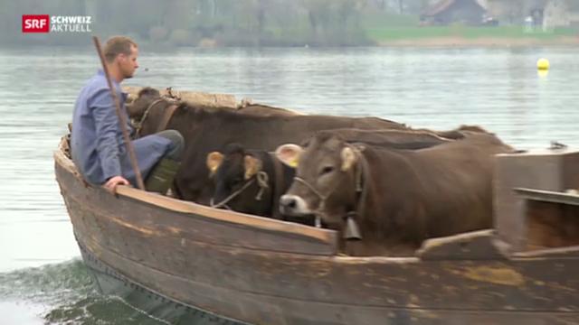Rinder reif für die Insel