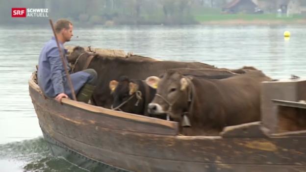 Video «Rinder reif für die Insel» abspielen
