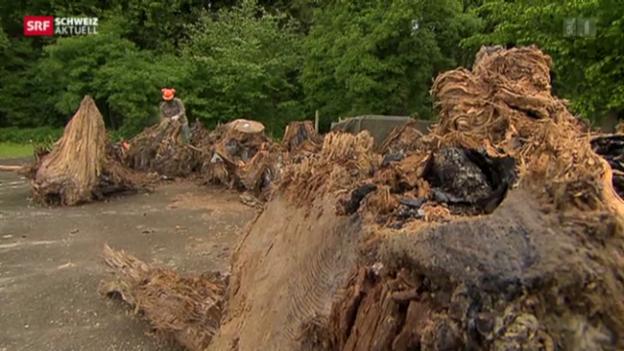 Video «Steinzeitwald in Zürcher Baugrube entdeckt» abspielen